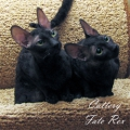Athlantis Fate Rex (6 months) & Cattus de Lux Rahael (10 months)