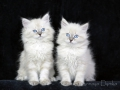 Наши невские маскарадные котята