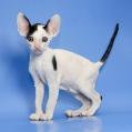 Корниш-рекс великолепные котята