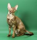Корниш-рекс взрослая кошка-компаньон