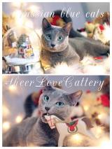 Русские голубые котята Sheer Love в Краснодаре/ Сочи