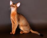 Абиссинская кошка Yutush из питомника Abysolaris