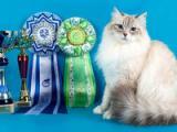 Жемчуг Невы - питомник невских маскарадных кошек