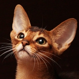 Amberberry - питомник абиссинских кошек