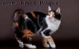 Grand Pompon - питомник курильских бобтейлов