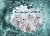 Ermine Trace (Шотландская вислоухая)