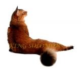 King Solomon*BY (Сомалийская кошка)