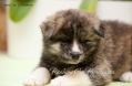 Тигровый щенок