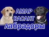 AMAR VASANT / АМАР ВАСАНТ (Лабрадор ретривер)