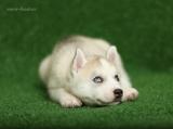 Snow-huskies