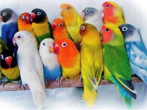 попугай неразлучник цена фото