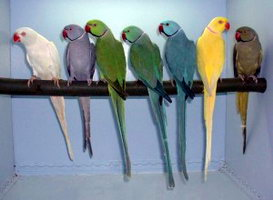 индийский воротничковый попугай