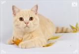 Кремовые британские котята