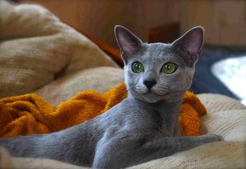Картинки русский голубой кот