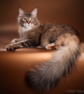 QGC (TICA) ICH (WCF) кошка мейн-кун Mainelynx Berenice