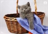 Голубые британские котята