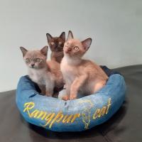 Rangpurcat котята