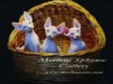 Котята питомника Merloni
