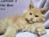 кошка Justcoon`s Har Moni