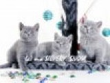 Британские котята питомника SILVERY SNOW
