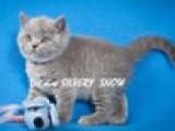 Британский голубой кот питомника SILVERY SNOW