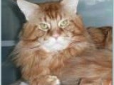 Наш кот мейн кун