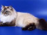 Невская маскарадная кошка Елизавета из питомника Жемчуг Невы.