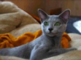 Русский голубой кот - IC FIFe, CH WCF Master Yoda Flash Arian
