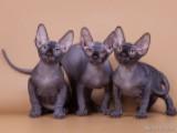 котята питомника Чёрный Бриллиант