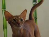 Абиссинская кошка соррель Abysolaris Calypso