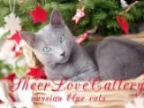 Русский голубой кот - Чемпион Мира WCF, GICH FIFE Rusblue Silver Commandor