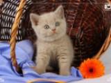 Британские котятяа окраса фавн