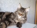 Faydark Everquest - племенной кот питомника Faydark