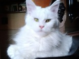 MakAlina Orinoco - племенная кошка питомника Faydark