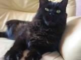 Faydark Carol - племенная кошка питомника Faydark