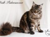 Valli Palmiracoon - племенной кот питомника Faydark