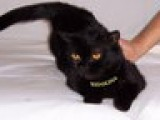 Британская кошка Czarina Ridolina