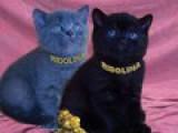 Британские котята. Питомник Ridolina.