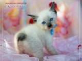 Меконгский бобтейл - котята от Cofein-Pride