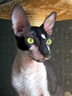 Корниш-рекс - описание породы кошек и о выборе котят