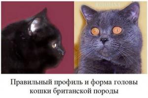 Проблемы применения аутбридинга у британских кошек