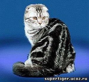 Шотландская вислоухая и короткошерстная - формирование цен и выбор котенка
