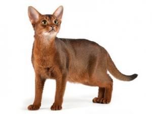 Начинающему заводчику абиссинских кошек