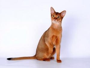 Абиссинская кошка – история и современность