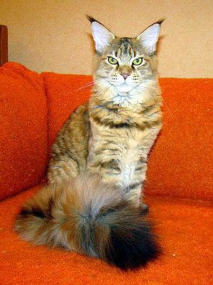 Ласковые гиганты в шелковой шубке - о кошках породы Мейн кун!
