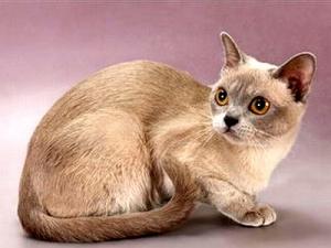 Американская традиционная Бурма - Стильная кошка для стильных людей