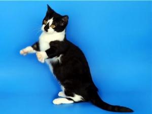Манчкин - кошка-такса