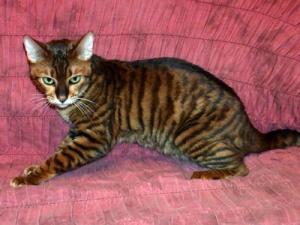 Тойгер домашний тигр