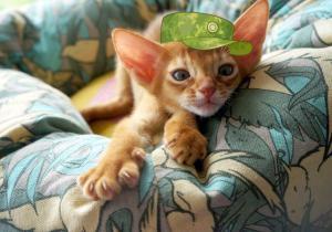 Выбор абиссинского котенка