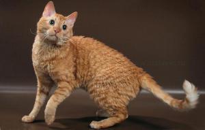 Кудрявое очарование - кошка породы Уральский рекс